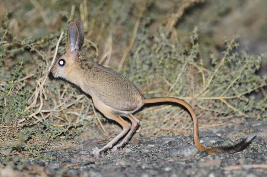 Beş parmaklı Arap tavşanı sadece Iğdırda görülüyor