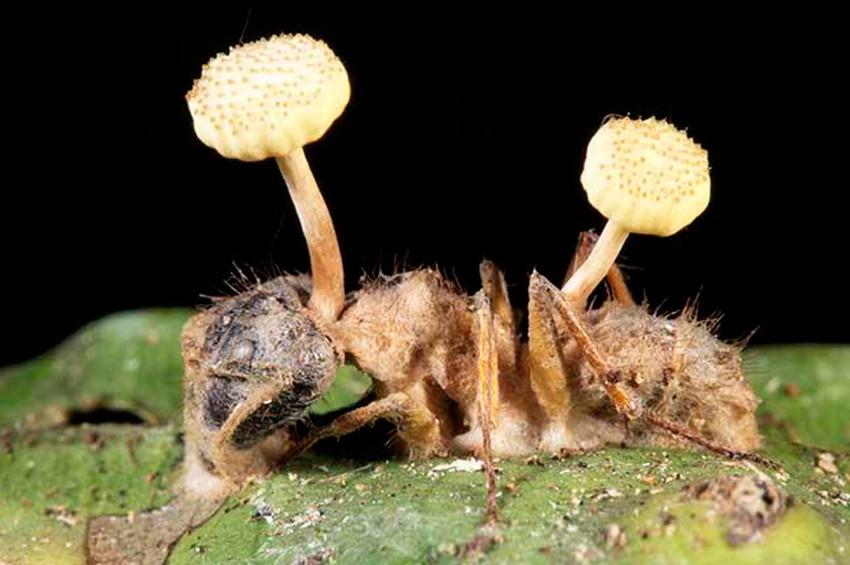 Karıncaları zombileştiren  parazit!