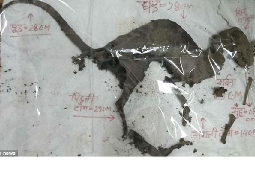 Hindistanda dinozora benzeyen yaratık cesedi bulundu