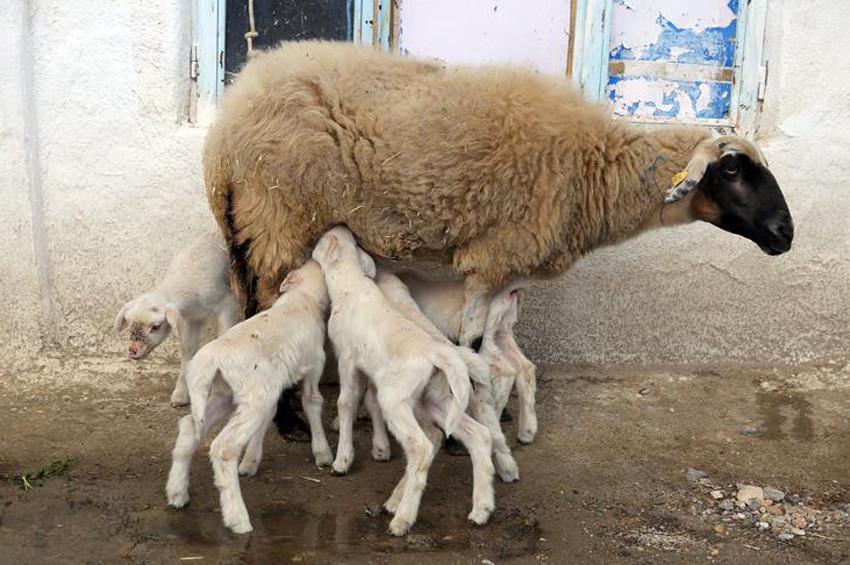 Menekşe koyun beşiz doğurdu