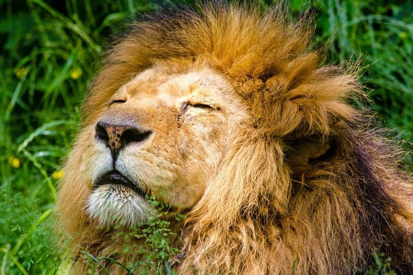Hindistandaki aslanları keneler öldürüyor