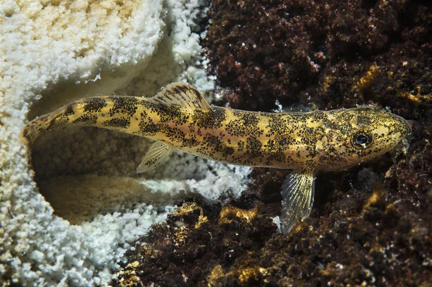 Van Gölünde ilk kez rastlanan balık türü araştırılacak