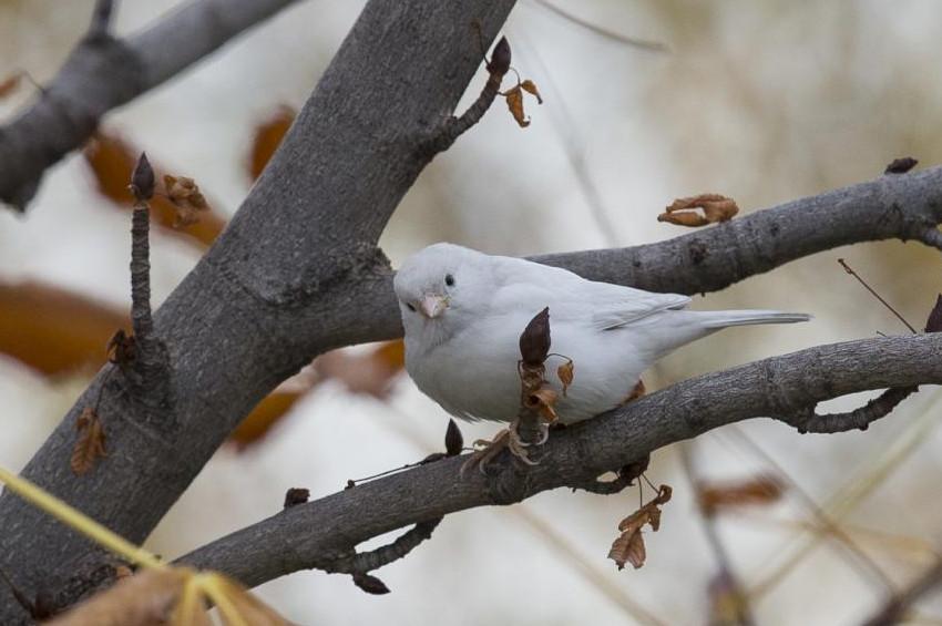 Nadir rastlanan beyaz ağaç serçesi başkentte görüldü