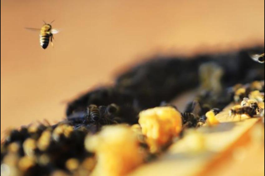 Toplu arı ölümleri zirai ilaçlardan kaynaklanıyor