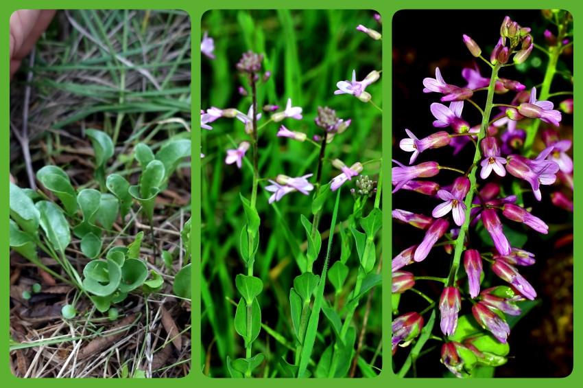 Hatayda yeni çiçek türü Nocceae ali-atahanii keşfedildi