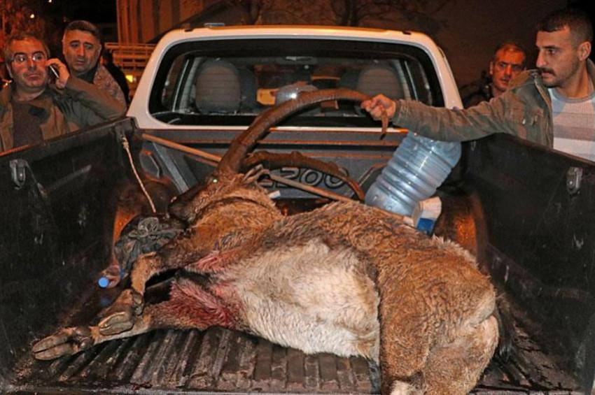Nesli teklikeli yaban keçisi avcıların kurbanı oldu