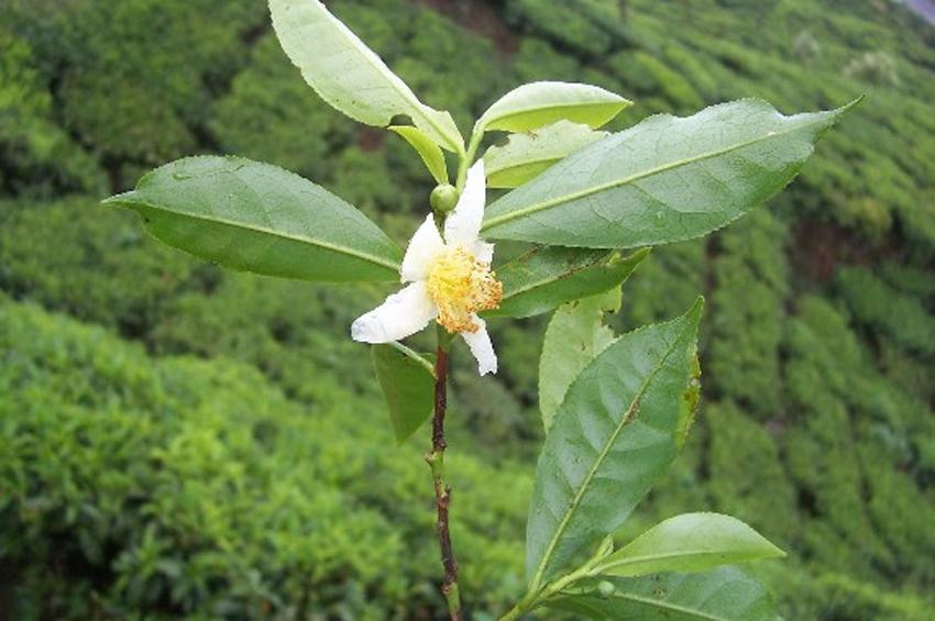 Yeşil çayı Parkinson hastalarına iyi gelebilir