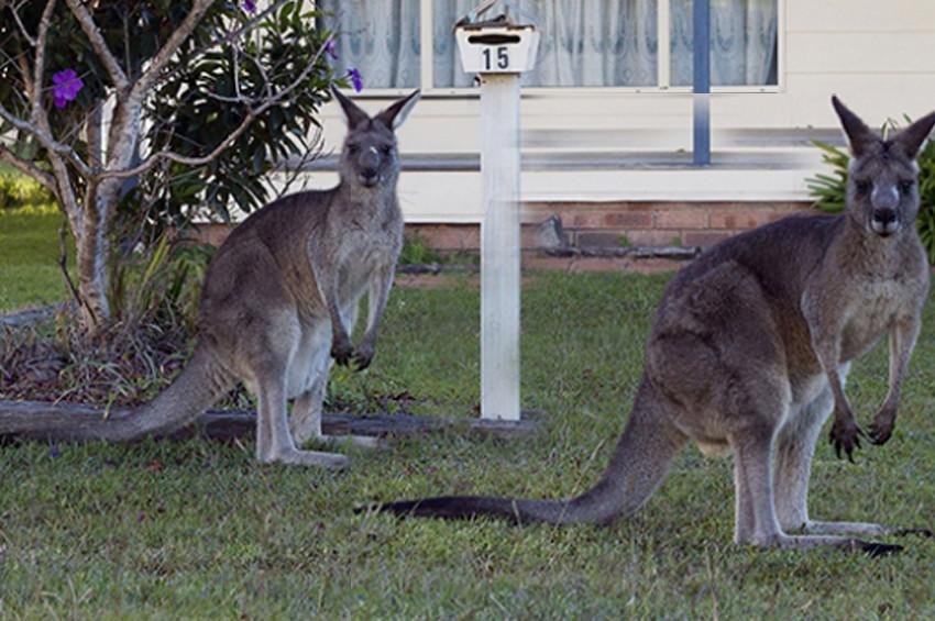 1 milyondan fazla kanguru öldürülebilir