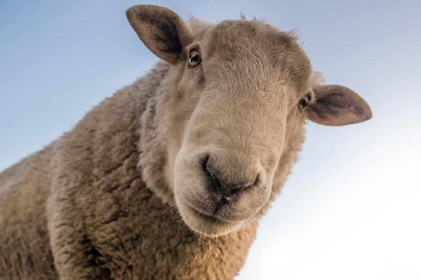 Vanda sürü psikolojisi: 100 koyun uçurumdan atladı