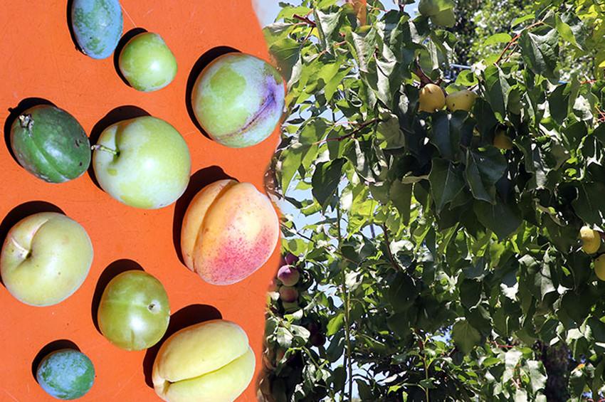 Aynı ağaçta 10 çeşit meyve yetiştirdi