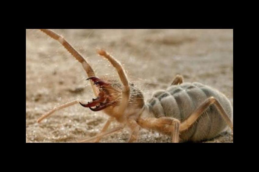 Sarıkız Olarak Bilinen Et Yiyen Örümcek Sivasta Ortaya Çıktı