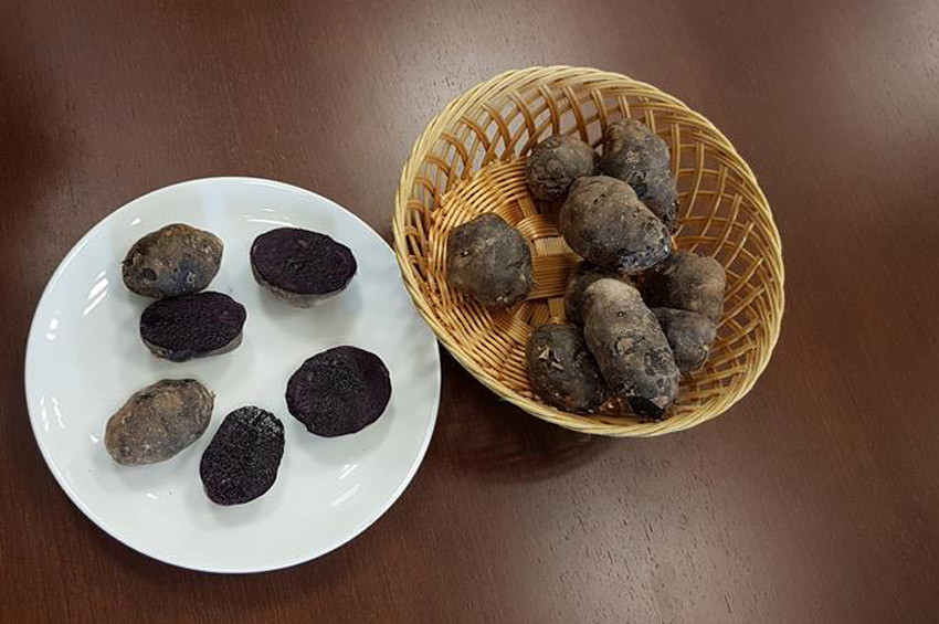 Niğdede mor patates yetiştirildi