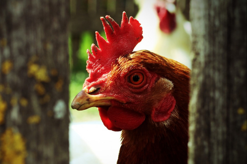 Kanser ilaçları yumurtlayan tavuk iddiası