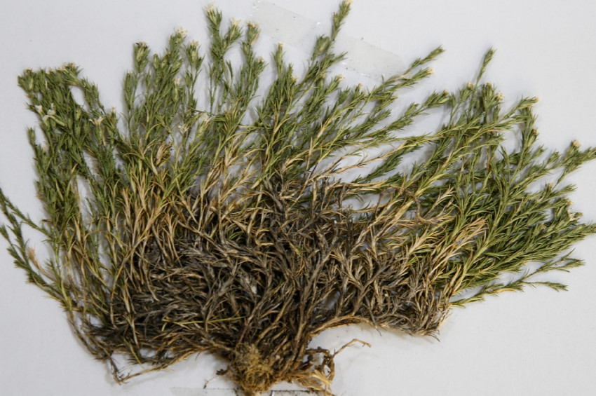 Yeni keşfedilen bitkiye Aziz Sancar adı verildi