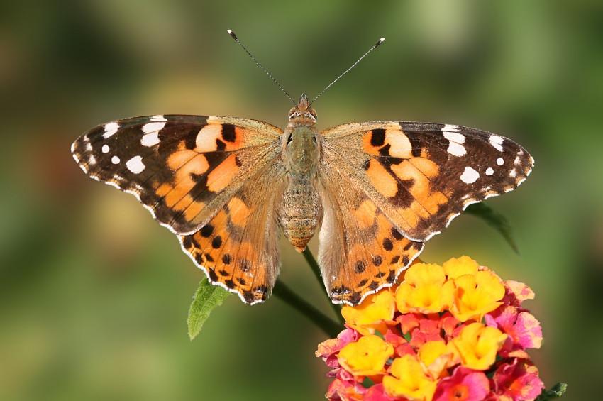 Diken kelebeklerini neden çok görüyoruz?
