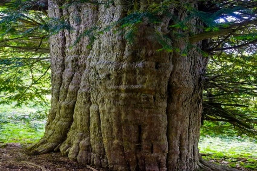 Ölüme meydan okuyan porsuk ağacının gizemleri