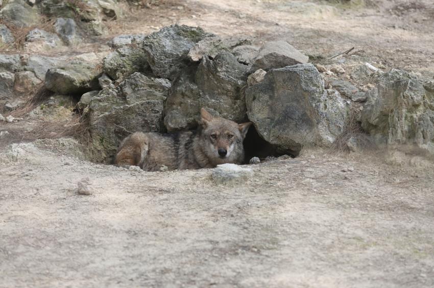 Antalya hayvanat bahçesinden kurt kaçtı