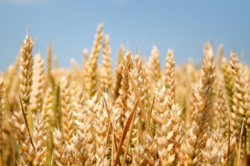 Kuraklığa dayanıklı buğdaylar