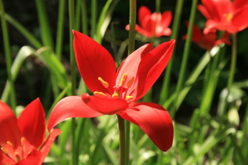 Türkiyeye özgü Yitik Lale 123 yıl sonra çiçek açtı