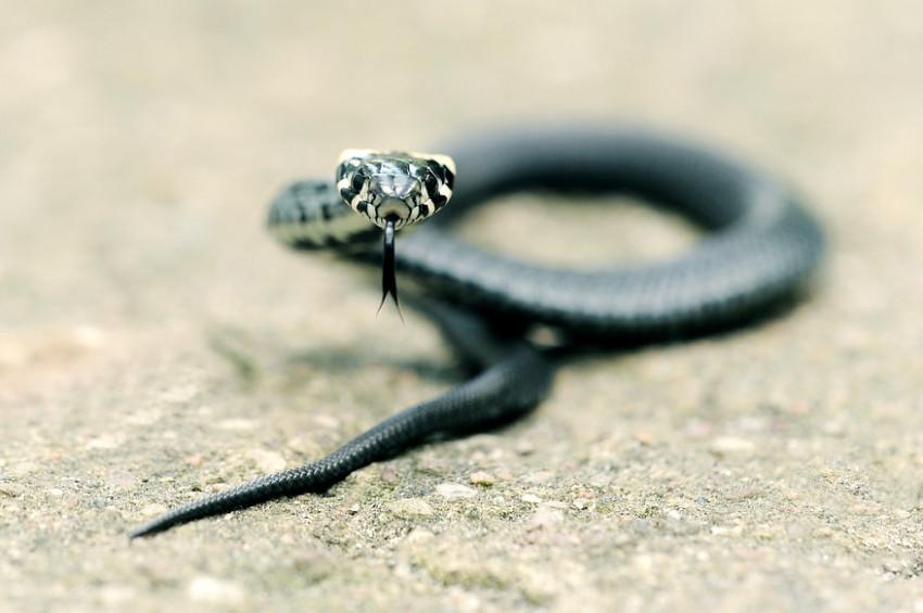 Kendisini sokan yılanı ısırarak öldürdü