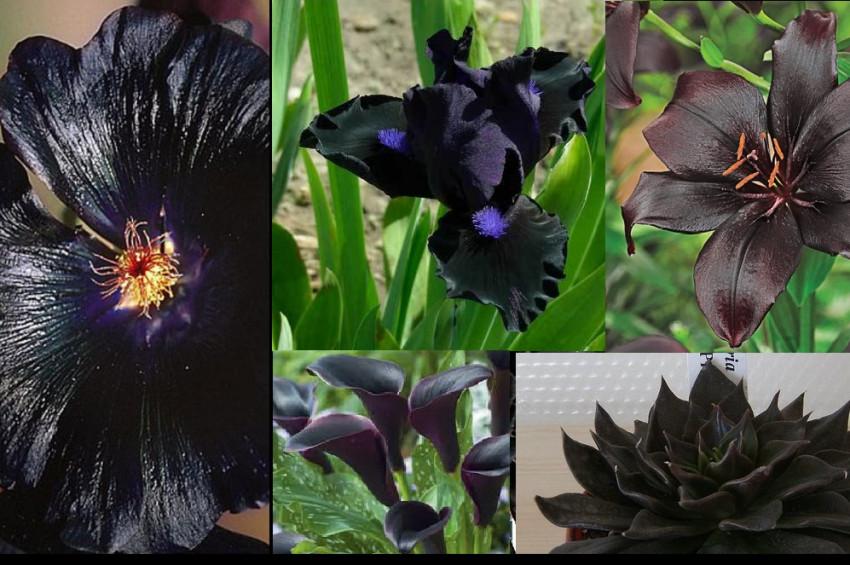 Yıldızlı Petunyalar, siyah çiçekler ve Gotik bahçeler