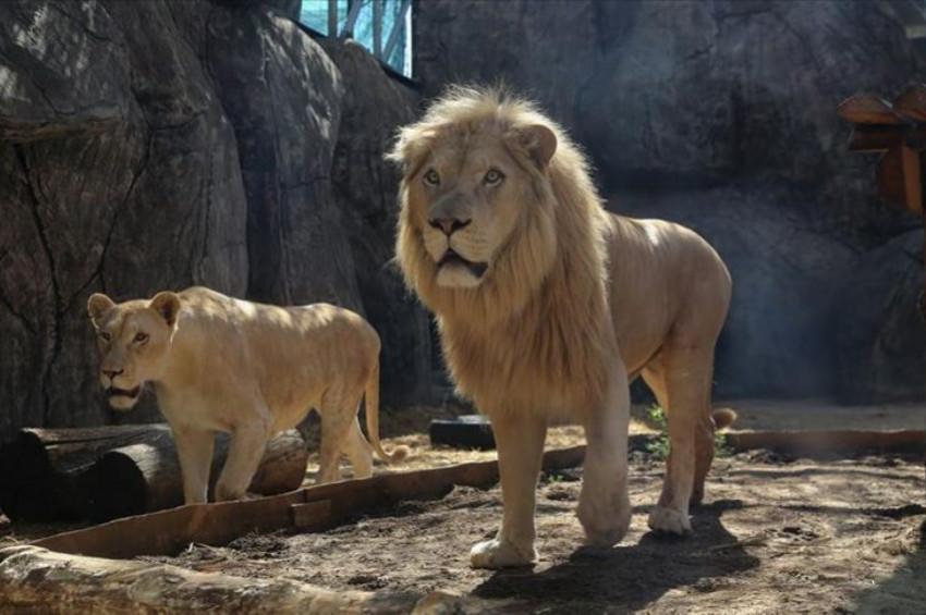 Türkiyeli Aslan ve Kaplanlar türlerinin umudu oldu
