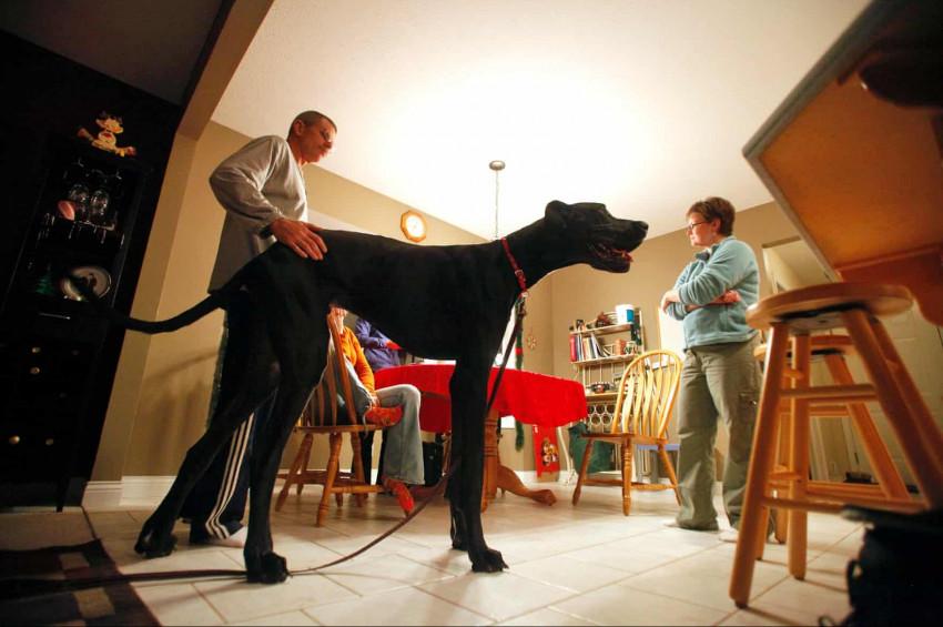 Dünyanın en uzun köpeği: Zeus
