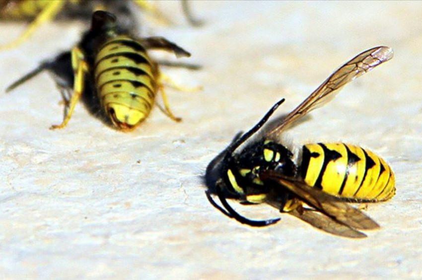 Yaban arılarının nesli küresel ısınma tehdidinde