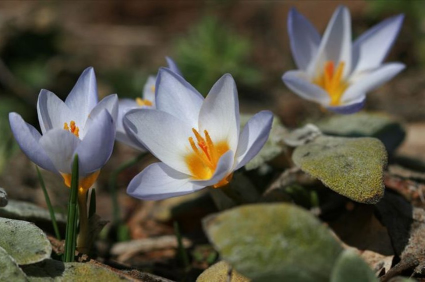Kocaelide keşfedilen yeni çiçeğe Keltepe Çiğdemi adı verildi