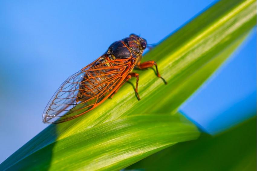 Ağustosböcekleri ABDde 2 eyaleti istila etti