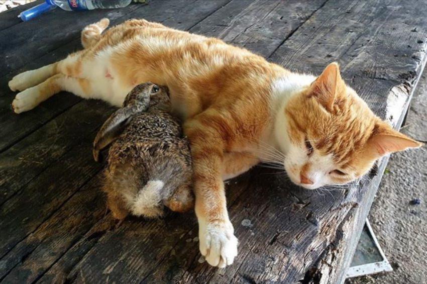 Tavşan yavrusunu emziren kedi