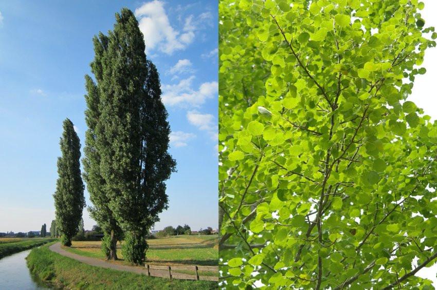 Alerji konusunda günah keçisi kavak ağaçları