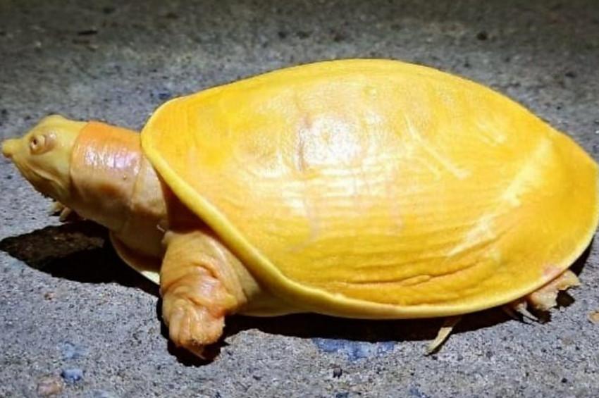 Hindistanda nadir bulunan sarı kaplumbağa korumaya alındı