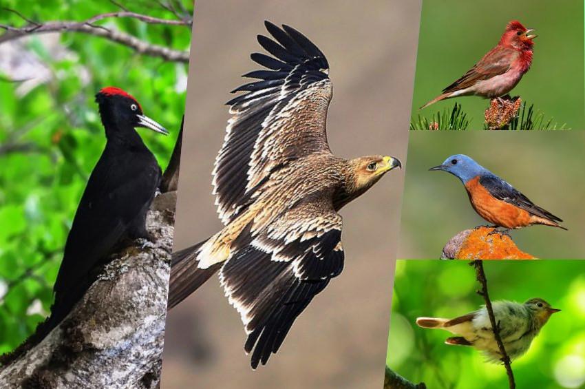 Kazdağları kuşlarına 5 yeni tür eklendi