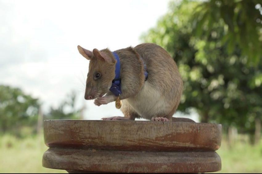 Mayın avcısı fareye cesaret madalyası verildi