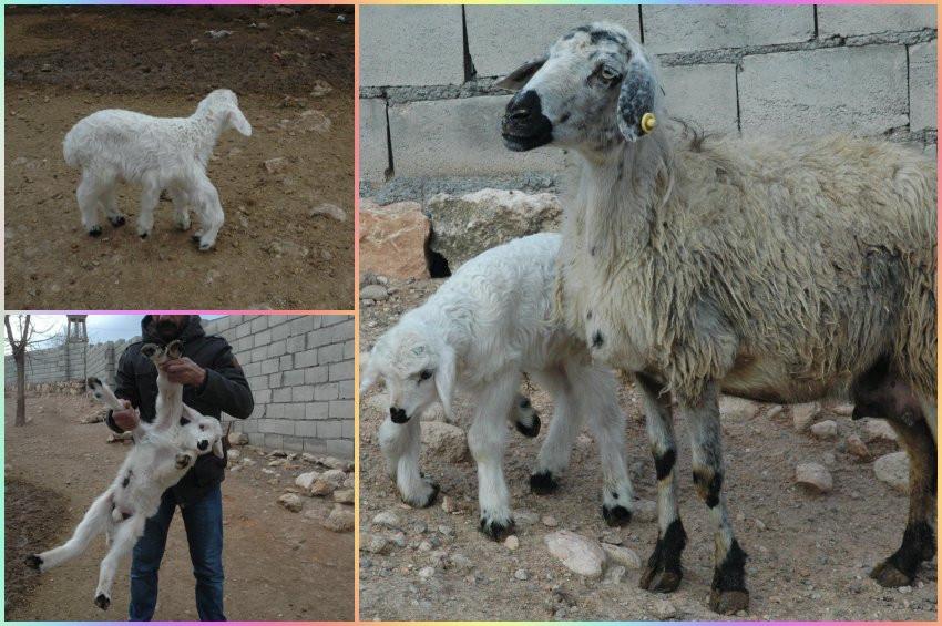 Diyarbakırda 6 ayaklı kuzu doğdu
