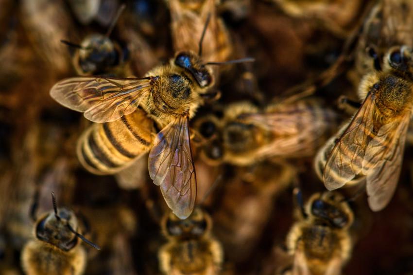 Kovan aklına sahip arıların 8 ilginç özelliği