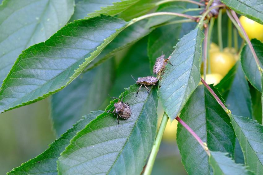 Karadeniz ve İstanbul'un yeni kabusu: Kahverengi kokarca böceği