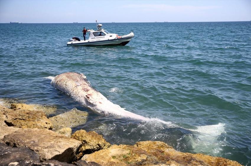 Mersinde sahile balina vurdu