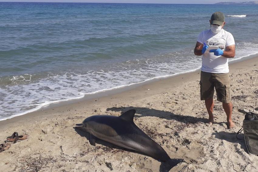 Kuşadası sahilinde ölü yunus balığı bulundu