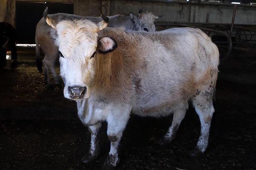 Trakyada hayvanları tehdit eden Mavi Dil hastalığı yayılıyor